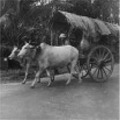 Oxcart Taiping 1947. Text from the picture - There is still a lot of these oxcarts used for transport, despite for the many big English trucks, that also are found here for the civilian life.  Taiping, February 1947.